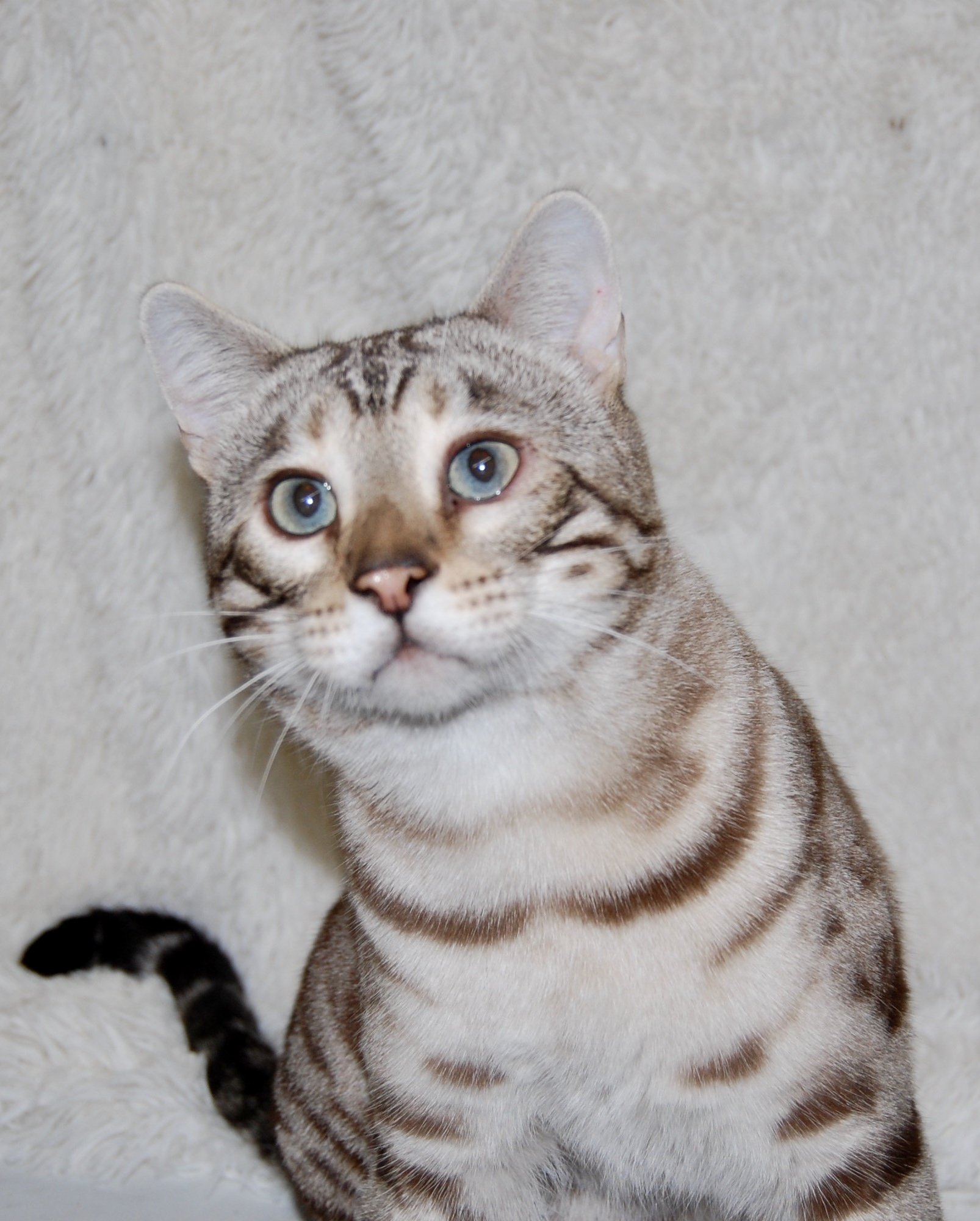 CH Pawsabilities Hazlitt Whitecat