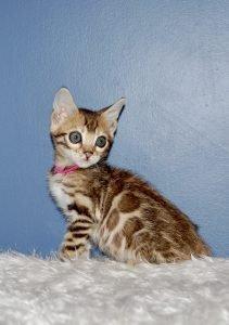Marcy (Pawsabilities Margarita x Golden Leopard Vinny)